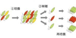 ミドリムシの培養と単離